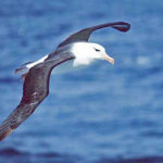 Svartbrynad albatross. Foto: Kils, CC BY-SA 3.0, https://commons.wikimedia.org/w/index.php?curid=422869