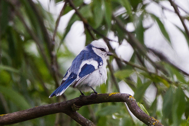 Azurmes. Foto: Ron Knight via Flickr https://www.flickr.com/photos/sussexbirder/
