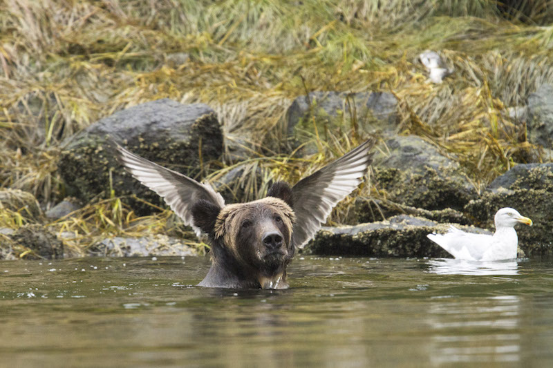 UNSPECIFIED, SEPTEMBER, 2015: A bear appears to have wings growing from it?s head in a photo taken by Adam Parsons, September, 2015. Things are heating up at the Comedy Wildlife Photography Awards as the shortlisted final 40 entries are revealed. This year?s competition has featured over 2200 hilarious entries from around the world with photos including a fox face planting in the snow, a dancing brown bear and a pair of seemingly headless penguins - all beautifully photographed with perfect comedy timing and a strong conservation message. PHOTOGRAPH BY Adam Parsons / Barcroft Images London-T:+44 207 033 1031 E:hello@barcroftmedia.com - New York-T:+1 212 796 2458 E:hello@barcroftusa.com - New Delhi-T:+91 11 4053 2429 E:hello@barcroftindia.com www.barcroftimages.com