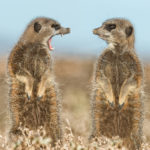LITTLE KAROO, SOUTH AFRICA, MAY, 2015: Two meerkats appearing to have a dispute, Little Karoo, South Africa, May, 2015.   Things are heating up at the Comedy Wildlife Photography Awards as the shortlisted final 40 entries are revealed. This year?s competition has featured over 2200 hilarious entries from around the world with photos including a fox face planting in the snow, a dancing brown bear and a pair of seemingly headless penguins - all beautifully photographed with perfect comedy timing and a strong conservation message.  PHOTOGRAPH BY Brigitta Moser / Barcroft Images  London-T:+44 207 033 1031 E:hello@barcroftmedia.com - New York-T:+1 212 796 2458 E:hello@barcroftusa.com - New Delhi-T:+91 11 4053 2429 E:hello@barcroftindia.com www.barcroftimages.com