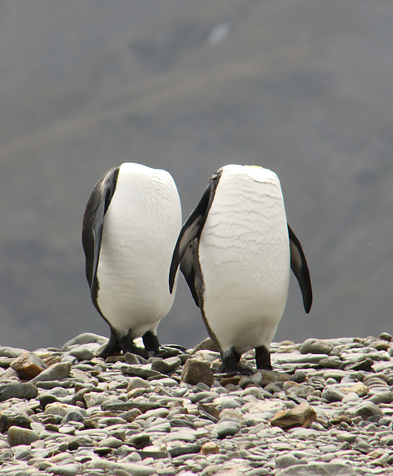 SOUTH GEORGIA: Photographer Charles Kinsey captures a pair of ?headless penguins? as they preen themselves simultaneously, South Georgia. Things are heating up at the Comedy Wildlife Photography Awards as the shortlisted final 40 entries are revealed. This year?s competition has featured over 2200 hilarious entries from around the world with photos including a fox face planting in the snow, a dancing brown bear and a pair of seemingly headless penguins - all beautifully photographed with perfect comedy timing and a strong conservation message. PHOTOGRAPH BY Charles Kinsey / Barcroft Images London-T:+44 207 033 1031 E:hello@barcroftmedia.com - New York-T:+1 212 796 2458 E:hello@barcroftusa.com - New Delhi-T:+91 11 4053 2429 E:hello@barcroftindia.com www.barcroftimages.com