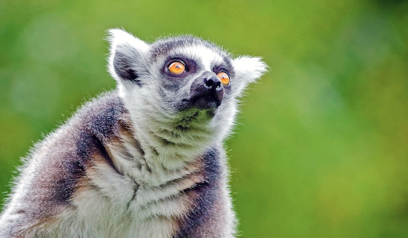 Lemur. Foto (beskuret): Mathias Appel, CC0, https://commons.wikimedia.org/w/index.php?curid=49047479