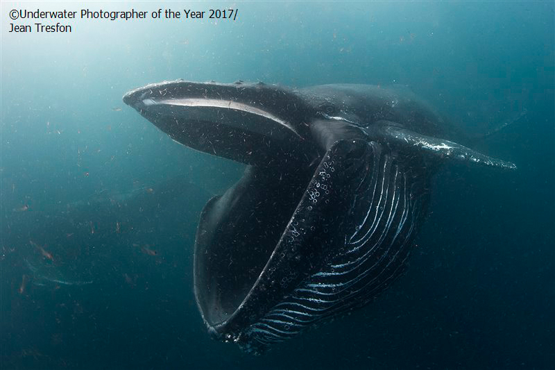 Beteende – finalist. 'Humpback whale feeding on krill.' av Jean Tresfon (South Africa)