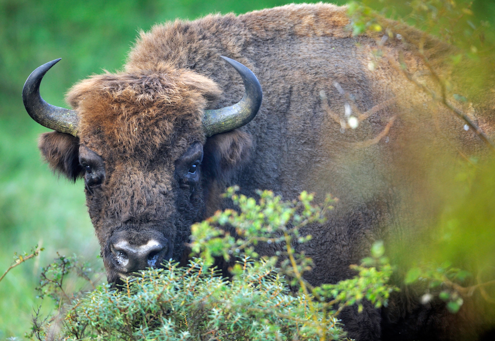 European Bison (Bos Bonasus), Kennemerduinen National Park, Kraansvlak, The Netherlands. Enclousure in a fenced reserve, 250 hectar, in Kennemerduinen National Park. Foto: Staffan Widstrand http://staffanwidstrand.photoshelter.com/gallery-list/ , Rewilding Europe http://www.rewildingeurope.com
